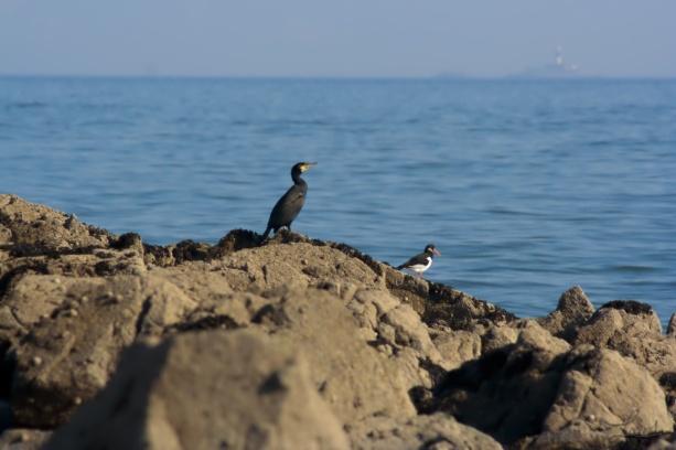 Un cormoran et son aide de camp